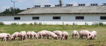 Little pigs piglets graze free on the farm summertime