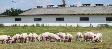 Free Little Pigs Piglets Graze Free On The Farm Summertime Stock Images - 97882174
