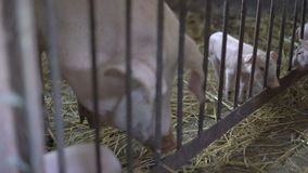 Little pigs playing with her sow in the straw. 4K.  stock footage