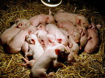 Little pigs are preparing to sleep. Beneath the bulb, which heats them Royalty Free Stock Photo
