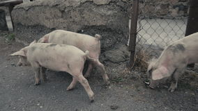 Little pigs sneaking outside of barn stock video