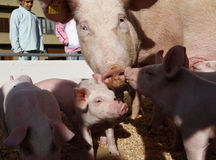 Piggy's with their mother at a local fair. Royalty Free Stock Image