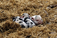 Little pigs. Three little pigs playing in straw Royalty Free Stock Photography
