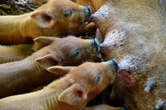 Little pigs from Vinales, Cuba Royalty Free Stock Images