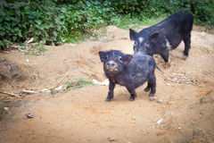 Little pigs are walking on a dirt trail in the village Royalty Free Stock Photo