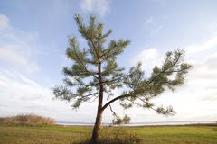 Little pine. Royalty Free Stock Photo