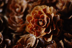 Little Pine Cone Stock Photography