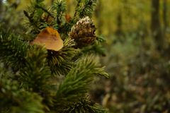 Little pine cone on a pine branch in the forest stock photography