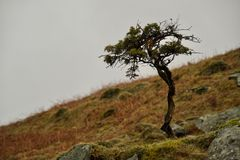 Little pine or fir tree on a mossy bank. Close up on moorland hill royalty free stock images
