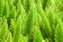 Little pine green plant background popular choice for christmas Royalty Free Stock Image
