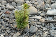 Little pine sprout grows on the grey stones stock photos