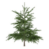 Little pine tree bush isolated. Pinus fir-tree. See my other works in portfolio royalty free stock images