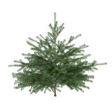 Little pine tree bush isolated. Pinus fir-tree Stock Image