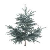 Little pine tree bush isolated. Pinus fir-tree Stock Images