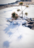 Little pine tree in the snow Royalty Free Stock Photo