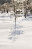 Little pine tree in snow Royalty Free Stock Image