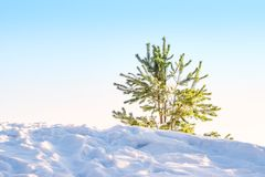 Little pine tree, spruce tree, lit by the rays of the sun on the hill with the shadows on the snow, Stock Image