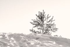 Little pine tree, spruce tree, lit by the rays of the sun on the hill with the shadows on the snow,, black and wh Stock Photo