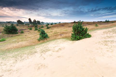 Little pine trees on sand dune at sunrise. Drenthe, Netherlands Royalty Free Stock Image