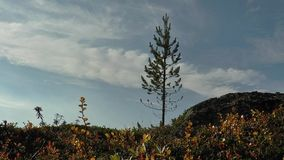 Little pine , trembling on the wind against the blue sky with clouds. Small pine on a background of blue sky with clouds, trembling on weak wind in the Northern stock footage
