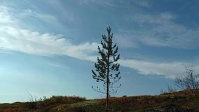 Little pine , trembling on the wind against the blue sky and moving clouds. stock footage