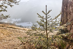 Little pine tress overlooking snowy valley Stock Images