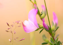 Little pink flower Stock Images