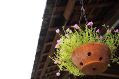 Little pink flower in clay pot hanging Royalty Free Stock Photo