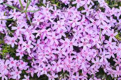 Little pink flowers bloom in the garden. Summer plants bloom in my garden royalty free stock images