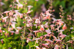 Little pink flowers blooming in the field in spring Stock Image