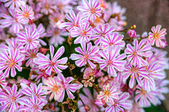 Little pink flowers at a flower bush Stock Photography