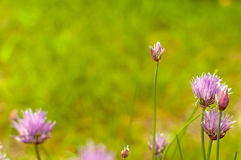Little pink flowers in a garden. Detail of small purple flower meadow with blurred background Stock Photo