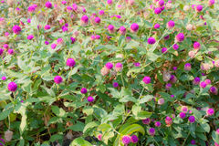 Little pink flowers in garden. Royalty Free Stock Photos