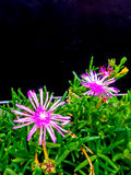 Little pink flowers and green leaves on flower bed Royalty Free Stock Photography