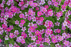 Little pink flowers Saxifraga Royalty Free Stock Image