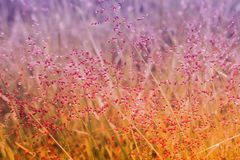 Little pink grass flower   with dew drops after rain  fresh  spr Royalty Free Stock Image