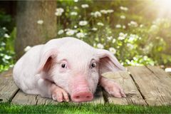 Little pink piggy on wooden background in garden Stock Images