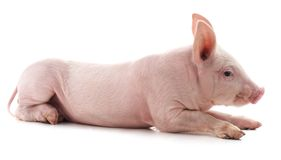 Little pink pig. On white background stock photos