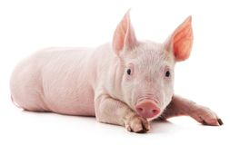 Little pink pig. On white background stock image