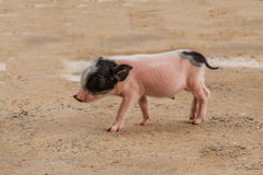 Little pink pigs. Walking in farm Royalty Free Stock Image