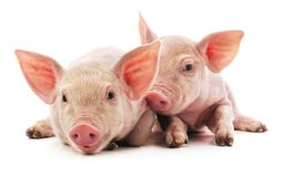 Little pink pigs. On a white background stock photo