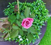 a little pink rose new grow royalty free stock photo