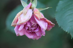 Little pink rose Royalty Free Stock Images