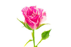 Little pink rose Royalty Free Stock Photography