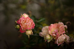 Little pink roses on dark background, slightly withered Royalty Free Stock Photos