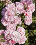 Little pink roses Stock Images