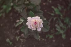 Little pink roses vintage style dark tone royalty free stock photography
