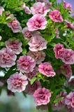 Little Pink Spring Petunias Stock Image