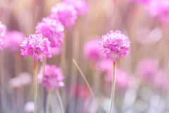 Little pink thrift flowers on a gentle background. Selective focus. Royalty Free Stock Photo
