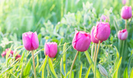 Little pink tulips. Stock Image